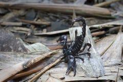 Escorpião na terra em 3Sudeste Asiático Foto de Stock Royalty Free