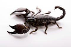 Escorpião no fundo branco Fotografia de Stock