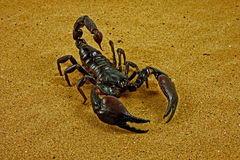 Escorpião (Ptalamneus Fulvipes) foto de stock
