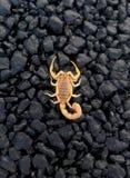 Escorpião vermelho Fotografia de Stock