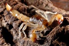 Escorpión Imagen de archivo
