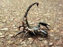 Escorpión agresivo Imagen de archivo libre de regalías
