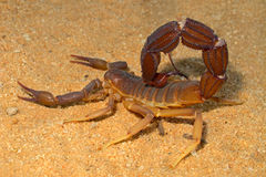 Escorpión agresivo Fotos de archivo