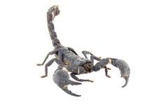 Escorpión aislado foto de archivo libre de regalías