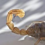 Escorpión amarillo, occitanus de Buthus imagen de archivo libre de regalías