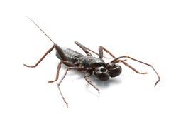 Escorpión de azote Fotos de archivo libres de regalías