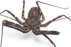 Escorpión de azote gigante (medius de Damon) Imágenes de archivo libres de regalías