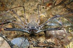 Escorpión de azote Tailless o Amblypygid Fotografía de archivo libre de regalías