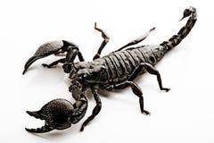 Escorpión de Emporer foto de archivo libre de regalías