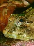 Escorpión de mar del cortocircuito-spined Equipo de submarinismo, St Catherine imágenes de archivo libres de regalías
