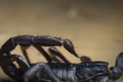 Escorpión en Tailandia y Asia sudoriental Imagen de archivo