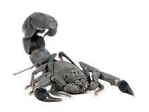 Escorpión - mauretanicus de Androctonus Fotografía de archivo libre de regalías
