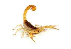 Escorpión melenudo del desierto. Imagen de archivo libre de regalías