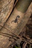 Escorpión negro en un tronco en la selva peruana Imágenes de archivo libres de regalías