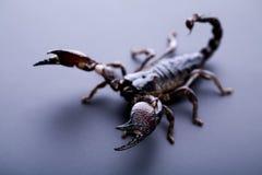 escorpión Ocho-legged imagenes de archivo
