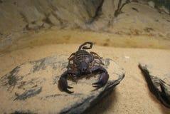 Escorpión plano de la roca - trogloditas de Hadogenes Fotos de archivo