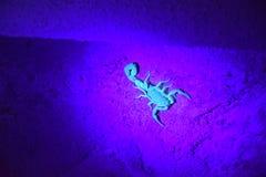 Escorpión que brilla intensamente Imagen de archivo
