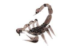 Escorpión Imágenes de archivo libres de regalías