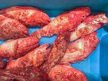 Escorpina roja cruda fresca de los pescados para la venta en el mercado local en Ibiza, imagen de archivo