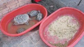 Escorpiones de las tortugas de Xinjiang China vivos metrajes
