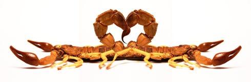 Escorpiones en amor imágenes de archivo libres de regalías