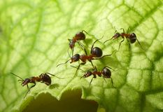 Escort of ants. Escort of forest ants on leaf Royalty Free Stock Photo