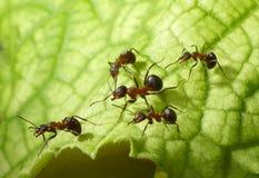 Escorte van mieren Royalty-vrije Stock Foto