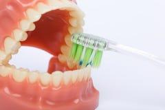 Escova de dentes e modelo ortodôntico usados na odontologia para a demonstração e finalidades educacionais Dentes de escovadela c fotografia de stock