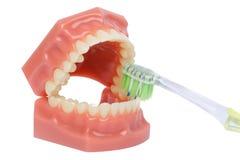 Escova de dentes e modelo ortodôntico usados na odontologia para a demonstração e finalidades educacionais Dentes de escovadela c fotos de stock