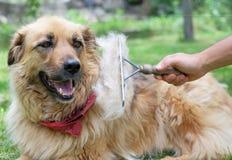 Escovando o cão macio grande com uma escova durante o derramamento fotos de stock