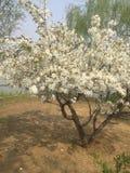 Escreva a flor da ameixa foto de stock royalty free