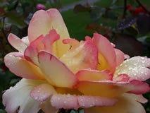 Escroc naturel rosÃo de mañana/fleur colorée naturelle de colorida de Flor avec le rosé de matin photos libres de droits
