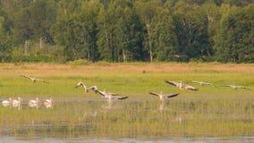 Escuadrilla de los pelícanos blancos americanos que vuelan durante el verano en el área de la fauna de los prados del Crex - prin fotos de archivo libres de regalías