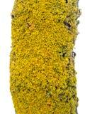 Escudo de oro Lichen Close-Up de Xanthoria Parietina en tronco del árbol foto de archivo libre de regalías