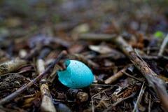Escudo de ovo azul do p?ssaro do tordo de m?sica no close-up do assoalho da floresta fotografia de stock