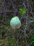 Escudo do caracol Imagem de Stock Royalty Free
