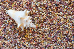 Escudo do Conch em seixos Fotografia de Stock