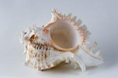 Escudo do mar do Murex Imagens de Stock