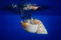 Escudo do mar que deixa cair na água Fotos de Stock