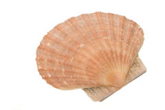 Escudo dos moluscos Imagens de Stock Royalty Free