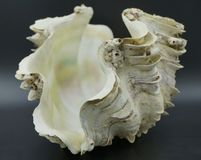 Escudo dos moluscos gigantes Imagens de Stock