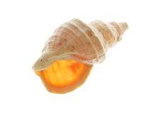 Escudo espiral do mar Fotos de Stock Royalty Free