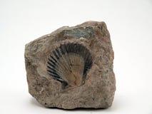 Escudo fóssil imagens de stock