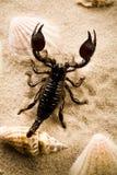 Escudos, areia e escorpião Imagens de Stock