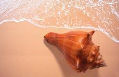 Escudos da bucárdia na praia foto de stock