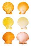 Escudos de Scallop imagens de stock