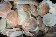 Escudos de vieira cor-de-rosa Shucked do mar imagens de stock royalty free