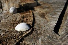 Escudos do branco e do caracol no tronco de árvore rachado velho textured, fundo obscuro marrom fotografia de stock royalty free