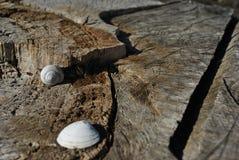 Escudos do branco e do caracol no tronco de árvore rachado velho textured, fundo obscuro marrom imagem de stock