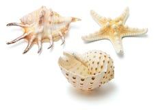 Escudos do mar Imagens de Stock